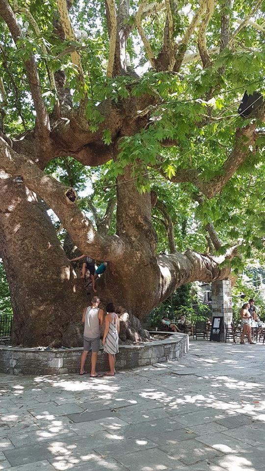 עץ דולב בן למעלה מ100 שנה